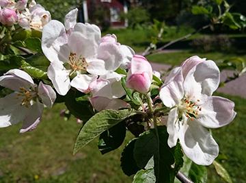 Cherry Blossom dating asiatiska över hela världen